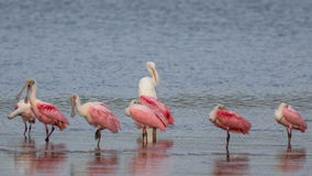 Great Egret and Roseate Spoonbills, J.N. Ding Darling Nation. Great Egret & x28;Ardea alba& x29; and Roseate Spoonbills & x28;Platalea ajaja& x29;, J.N. Ding Royalty Free Stock Image