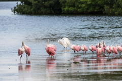 Great Egret and Roseate Spoonbills, J.N. Ding Darling Nation Stock Photography