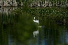 Great Egret ruffling feathers. Great Egret rearranging itself after landing on rock in wetland Stock Image