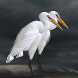 Great Egret. The Great Egret is a saltwater and freshwater wader hunting fish, frogs and small aquatic animals Royalty Free Stock Images