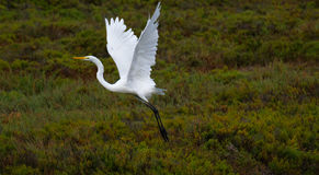 Great Egret, San Dieguito River Park, California Stock Images