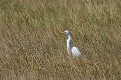 Great Egret in the Sawgrass Royalty Free Stock Photo
