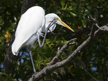 Great Egret scratching Stock Image