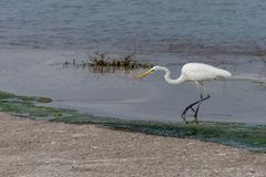 A Great Egret in search of a fish stock images