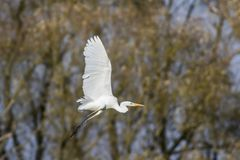 Great egret Casmerodius alba. A great egret is searching for fodder in Beeder Bruch Royalty Free Stock Photo