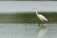 Great Egret in shallow water Stock Photo