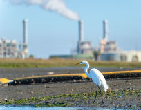 Great egret on shore of Alamitos Bay with smokestacks in background. Stock Photos