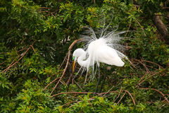 Great Egret showing breeding display Royalty Free Stock Photography