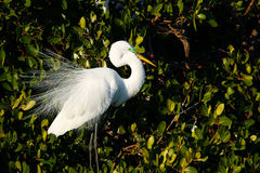 Great Egret showing breeding display Royalty Free Stock Photo