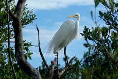 Great Egret. A Great Egret shows of his feathers Royalty Free Stock Images