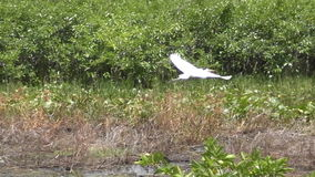 Great egret in slow motion Stock Footage