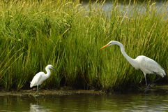 Great Egret and Snow Egret grazing the waters. Great Egret and Snow Egret grazing the afternoon waters Stock Photos