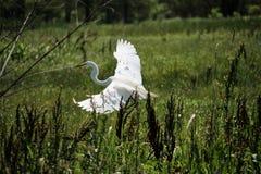 Great Egret. South side of Houma LA Terrebonne Parish Royalty Free Stock Image