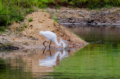 Great Egret Spear Fishing Splash. Great Egret fishing on pond in walton county georgia Stock Image