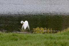 The Great Egret with Special Feather at Malibu Lagoon in August Royalty Free Stock Photography