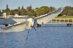Great Egret spreading wings Royalty Free Stock Photo