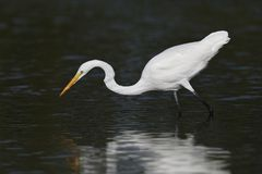 Great Egret stalking a fish in a shallow lagoon - Pinellas Count. Great Egret Ardea alba stalking a fish in a shallow lagoon - Pinellas County, Florida Royalty Free Stock Images