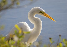 Great Egret stalking its prey - Jekyll Island, Georgia royalty free stock photography