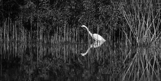 Great Egret Royalty Free Stock Photography
