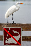Great egret standing above no fishing sign. Great egret (Ardea alba) standing above no fishing sign royalty free stock photo
