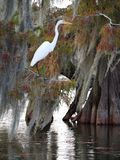 Great egret standing on a cypress tree in Lake Martin. View of a great egret standing on a cypress tree in Lake Martin, Louisiana royalty free stock photo