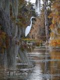 Great egret standing on a cypress tree in Lake Martin. View of a great egret standing on a cypress tree in Lake Martin, Louisiana stock image
