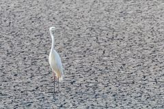 Great Egret Standing on Dry Pond Ardea alba Great White Egret, Common Egret. Wildlife royalty free stock photography