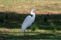 A great egret standing in the grass in the shade royalty free stock photography