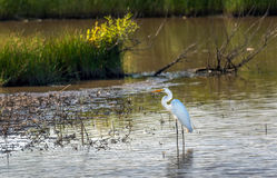 Great Egret standing in a marsh on the Chesapeake Bay Royalty Free Stock Images