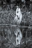 Great egret standing on one leg - black and white royalty free stock photo