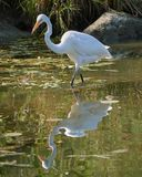 Great Egret standing in pond stock photos