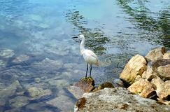 Great egret standing on a rocky shoreline of the Lake Toba, Indonesia. stock photo