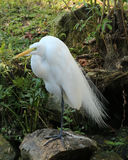 Great Egret standing on shore. White Egret at rest along the river bank Royalty Free Stock Photos