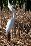 Great Egret standing tall. Photograph of a beautiful white Great Egret standing tall in the marshland, alert for ever present danger, while attempting to feed royalty free stock photography