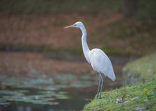 Great egret along the pond. A great egret is standing up in front of a pond in Japan Royalty Free Stock Images