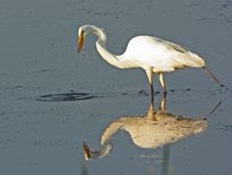 Great Egret standing in water Stock Image