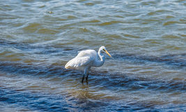 Great Egret standing in water Royalty Free Stock Images
