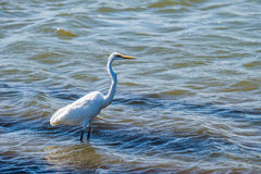 Great Egret standing in water Stock Photography
