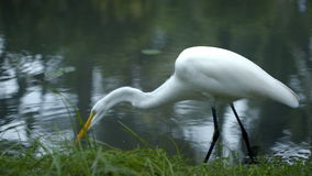 Great Egret standing in the water and eating stock footage