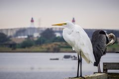 Great egret standing on a wooden ledge on a cloudy day, Shoreline Amphitheater in the background, Mountain View, California stock image