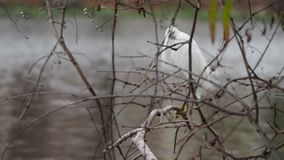 A great egret stands on a tree branch by a lake near Louisiana State University. Baton Rouge, Louisiana, USA stock footage