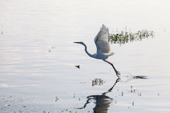 Great Egret starting to fly from lake. Sri Lanka royalty free stock photography