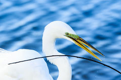 Great Egret with Stick Royalty Free Stock Photography