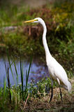 Great Egret on Sunny Pond. White Great Egret, tall wading bird, fishing on pond in Monroe GA, Walton County Georgia Stock Photos