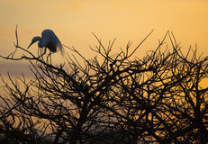 Great Egret Sunrise Perch Stock Image
