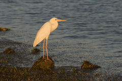Great Egret at Sunset. White great egret on shoreline at sunset Royalty Free Stock Image