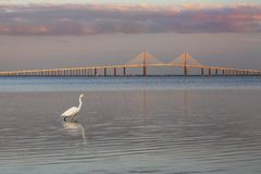 Great Egret with the Sunshine Skyway Bridge in the background. Great Egret Ardea alba at twilight with the Sunshine Skyway Bridge in the background - Fort DeSoto stock photography