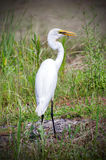 Great Egret Swallowing Fish, Walton County Georgia Stock Images
