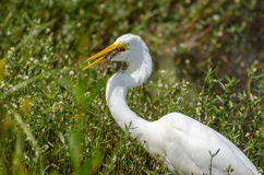 Great Egret swallowing fish, Walton County Georgia. Great Egret, a white wading bird heron, fishing on a pond in Monroe GA, Walton County Georgia Stock Image