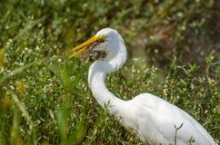 Great Egret swallowing fish, Walton County Georgia Stock Image